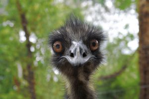 860327_earnie_the_emu